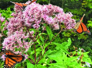 Monarch butterflies are currently migrating through Western North Carolina.